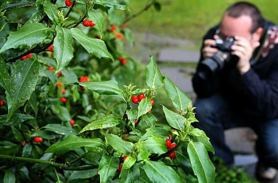 Kevin Frates, of Petaluma, takes photograph of a plant at the Botanical Gardens in Golden Gate Park in San Francisco, Calif. Wednesday March 3, 2010 Photo: Jana Asenbrennerova, The Chronicle