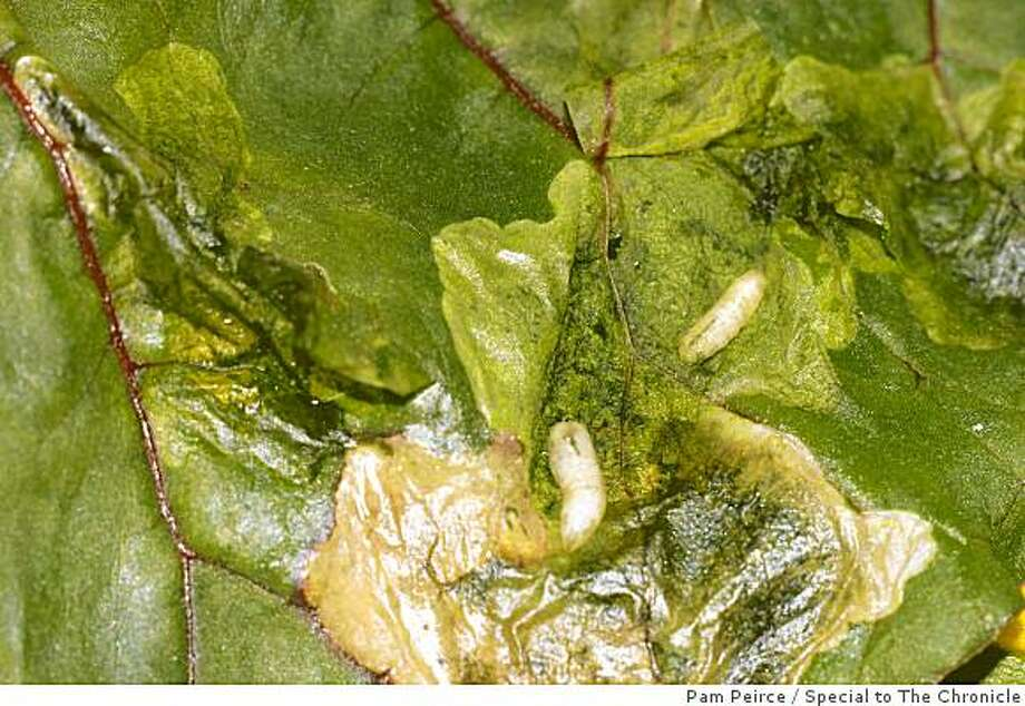 The surface of this chard leaf has been peeled back to reveal the tiny white leafminer larvae that were feeding inside. Photo: Pam Peirce, Special To The Chronicle