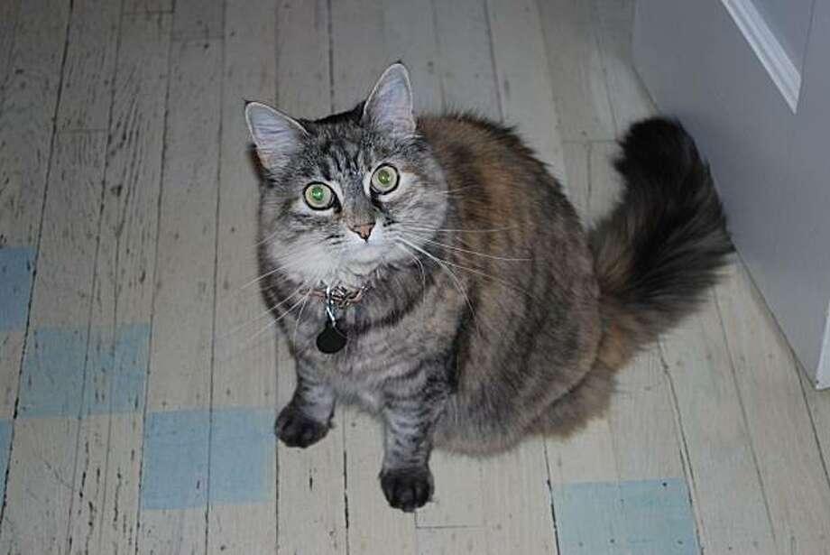 Dicey the cat Photo: Susan Kerr Krooss