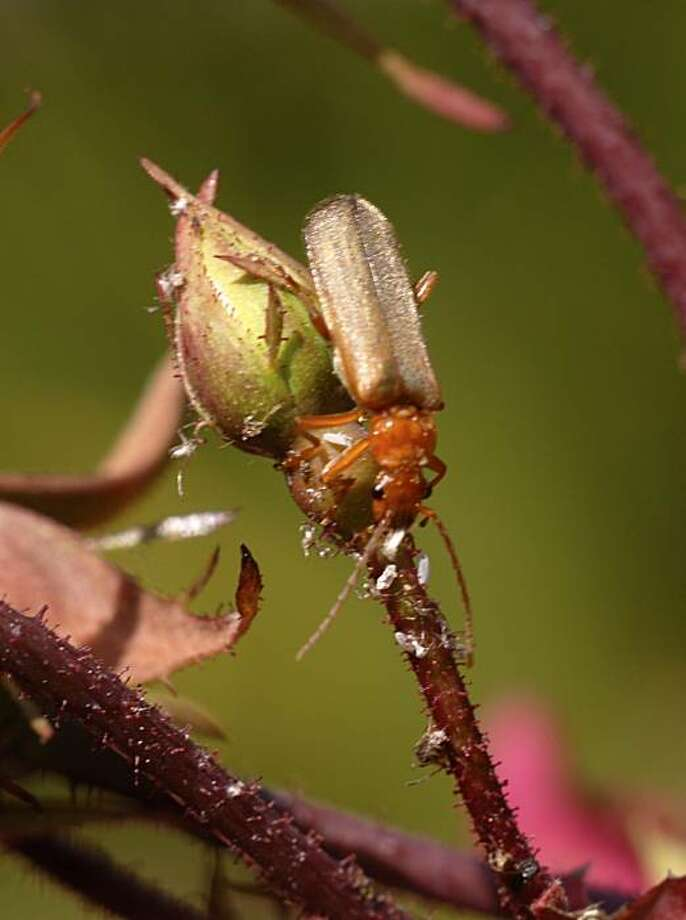 Soldier beetle: Reduce or eliminate pesticide use to spare predatory insects like this soldier beetle, shown cleaning the aphids from a rosebud. Photo: Pam Peirce
