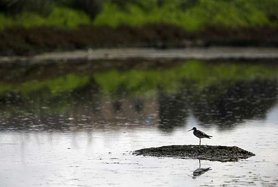 Near a location that a company named Cargill has proposed a plan to build a 30,000-resident development, a sand piper picks a dry spot to perch in the salt flat on Thursday Feb. 24, 2010 in Redwood City, Calif. Photo: Mike Kepka, The Chronicle