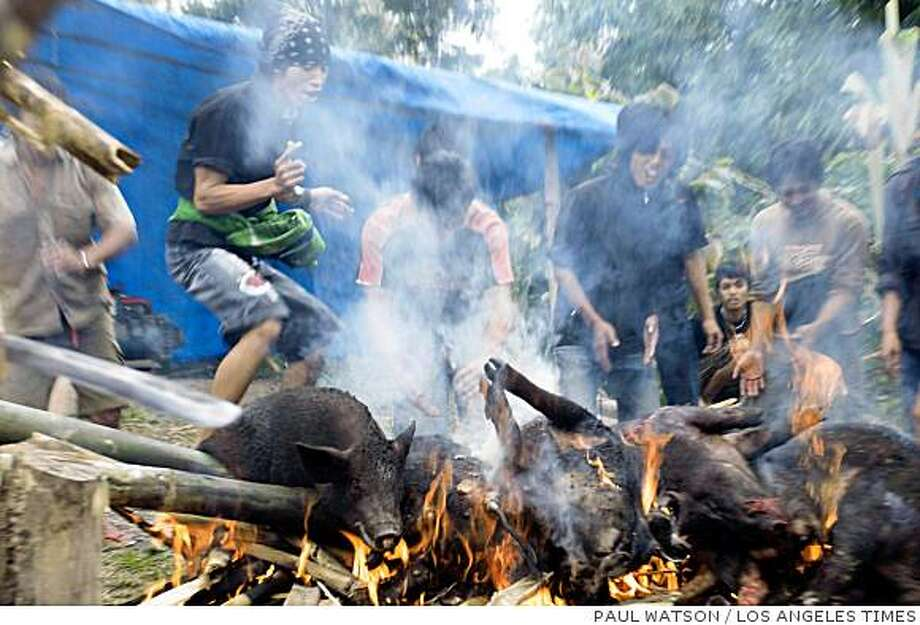 More than 150 pigs were slaughtered for the funeral of Augustina Tambing, who was buried in a village in southern Sulawesi six months after she died. Illustrates INDONESIA-DEATHTRIBE (category i) by Paul Watson (c) 2008, Los Angeles Times. Moved Friday, Aug. 15, 2008. (MUST CREDIT: Los Angeles Times photo by Paul Watson.) Photo: PAUL WATSON, LOS ANGELES TIMES