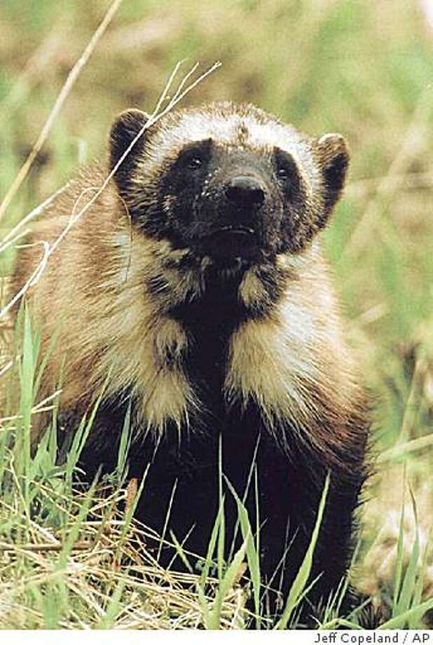 ** FILE ** In this undated file photo is shown a wolverine in Glacier National Park, Mont., taken by biologist Jeff Copeland. Montana is hanging on as the only state besides Alaska that allows trapping of wolverines, an elusive mountain dweller rejected for protection under the federal Endangered Species Act. (AP Photo/Glalcier National Park, Jeff Copeland, via The Missoulian, File) ** NO SALES ** Photo: Jeff Copeland, AP