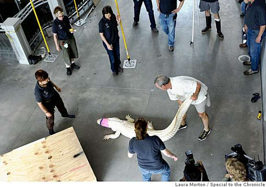 Rick Cleveland coaxes an albino alligator out of it's transport box for a quick veterinarian check-up before transporting it into it's new home in the swamp exhibit at the California Academy of Sciences in San Francisco, Calif., on Tuesday, August 19, 2008.  Two alligators arrived at the museum on Tuesday morning after Cleveland drove them cross country from Florida. Photo: Laura Morton, Special To The Chronicle