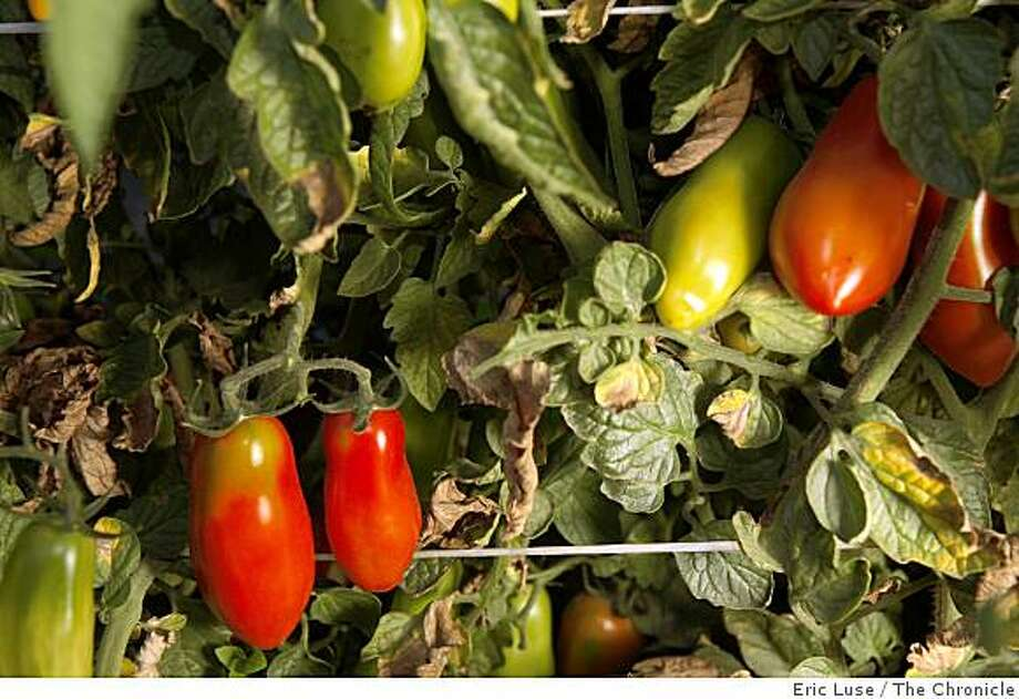 San Marzano tomatoes from Mariquita Farms Photo: Eric Luse, The Chronicle