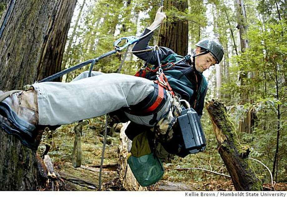 Humboldt State University professor Steve Sillett ascends a redwood tree with the investigative tools of his trade. Photo: Kellie Brown, Humboldt State University