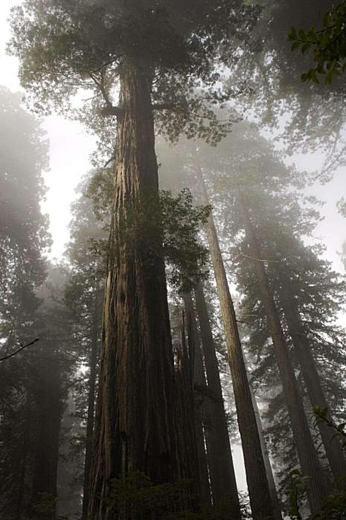 Coastal redwoods scrape the foggy sky in Prairie Creek Redwood State Park in northern Humboldt County.