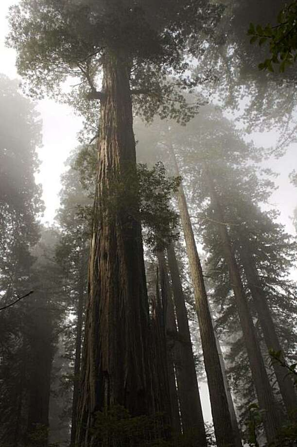Coastal redwoods scrape the foggy sky in Prairie Creek Redwood State Park in northern Humboldt County. Photo: Julie Martin, Save The Redwoods League