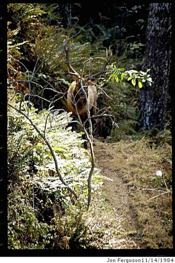 outdoors14_elk.jpg A 12-point elk (6 per side) appeared as I rounded a turn on the Lost Coast Trail at Sinkyone Wilderness State ParkJon Ferguson Photo: Jon Ferguson11/14/1984