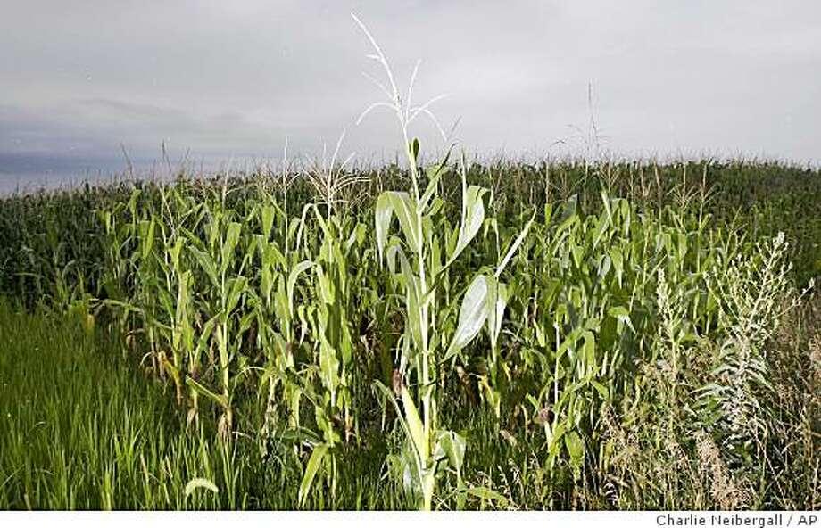 Corn Plants Grow In A Field Tuesday Aug 12 2008 Near Grimes