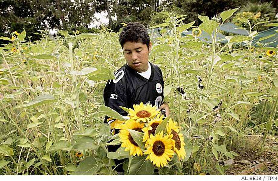 Elvis Ardon, 17, clips sunflowers from the garden at North Hollywood High School in Los Angeles, where he and other students learn about gardening and business under the direction of Mud Baron, who oversees the Los Angeles Unified School District's garden program. Illustrates SCHOOL-GARDEN (category a) by Jennifer Oldham (c) 2008, Los Angeles Times. Moved Tuesday, Aug. 19, 2008. (MUST CREDIT: Los Angeles Times photo by Al Seib.) Photo: AL SEIB, TPN
