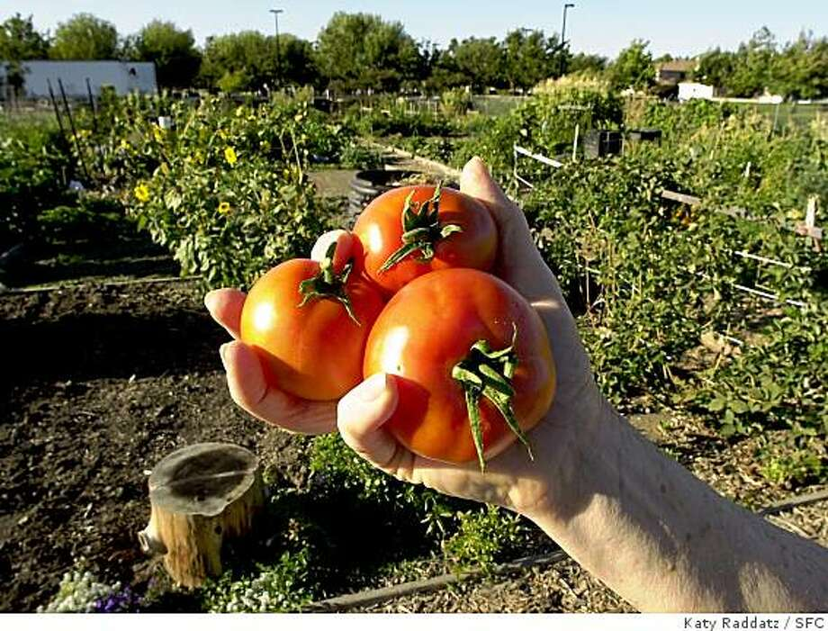 "Cynthia Bird holds up a handful of ""Early Girl"" tomatoes, with the lovely garden in the background. Feature on community gardens in Livermore and the folks who tend them. Photo: Katy Raddatz, SFC"