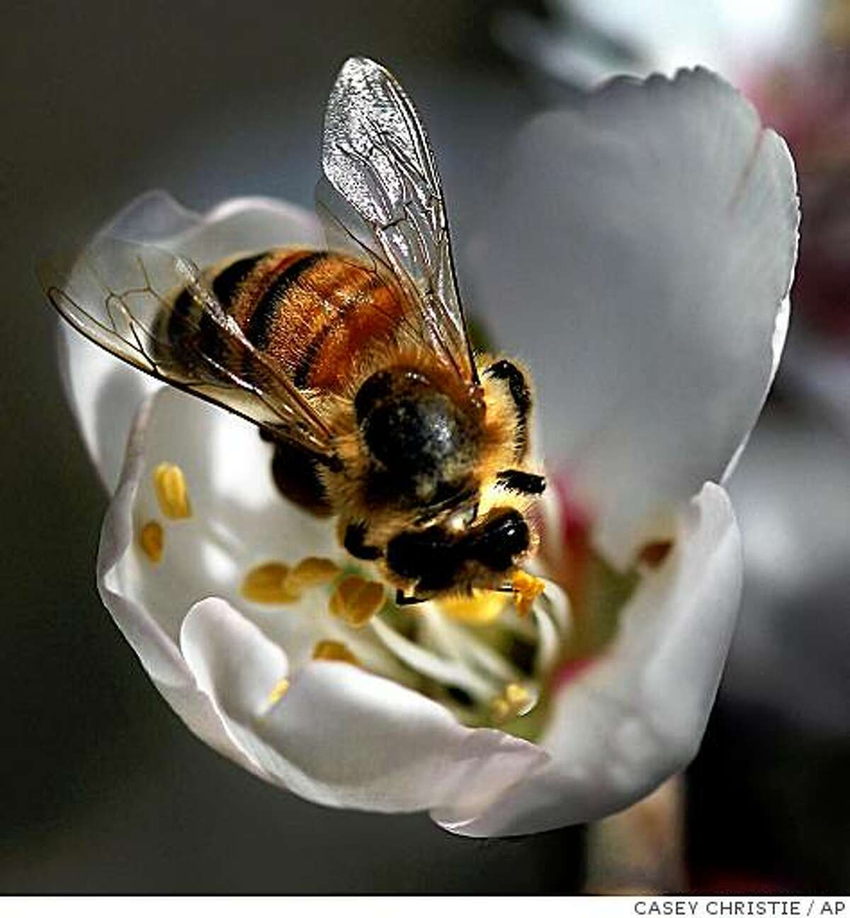 A honey bee lands on an almond blossom Friday, Feb.10, 2006, northwest of Bakersfield, Calif. (AP photo/The Bakersfield Californian, Casey Christie)