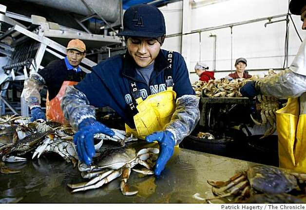 Ernesto Rojas, middle, grabs another dungeness crab to butcher at Dungeness Development, a custom cannery and packer in South Bend, Wash., Thursday, July 24, 2008. The live dungeness crab were caught in Prince Rupert, British Columbia and were being processed for Wild Planet. Photo: Patrick Hagerty, The Chronicle