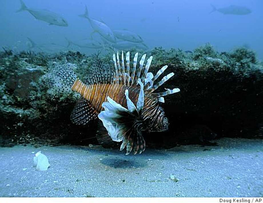 In this image released by NOAA Undersea Research Center, a lionfish swims at a depth of about 130 feet, roughly 55 miles off the coast of North Carolina, in July, 2006. The lionfish, a vibrantly colored spiny and venomous predator from the western Pacific, is rapidly spreading in the Caribbean's warm waters, according to marine biologists who are studying the phenomenon. (AP Photo/Doug Kesling/NOAA Undersea Research Center) Photo: Doug Kesling, AP