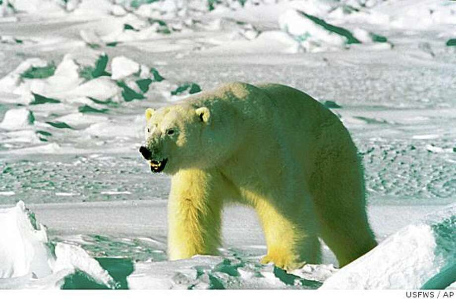** FILE ** This undated file photo from the U.S. Fish and Wildlife Service's Alaska Image Library shows a polar bear. Less than a month after declaring polar bears a threatened species because of global warming, the Bush administration is giving oil companies permission to annoy and potentially harm them in the pursuit of oil and natural gas. (AP Photo/U.S. Fish and Wildlife Service) Photo: USFWS, AP