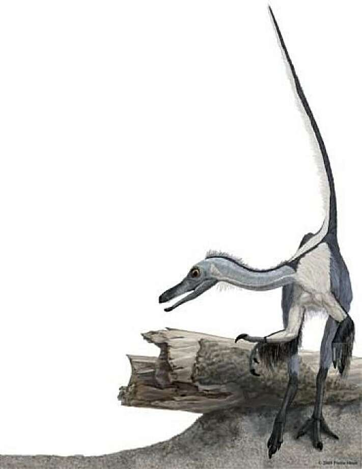 An image of Haplocheirus sollers, a bird-like dinosaur that lived 63 million years before the the first known bird, Archaeopteryx. It was discovered by a George Washington University scientist and UC Berkeley expert on dino evolution who says it is new support for 30 years of evidence confirming that birds in fact  evolved from dinosaurs. Photo: Portia Sloan, Science Magazine