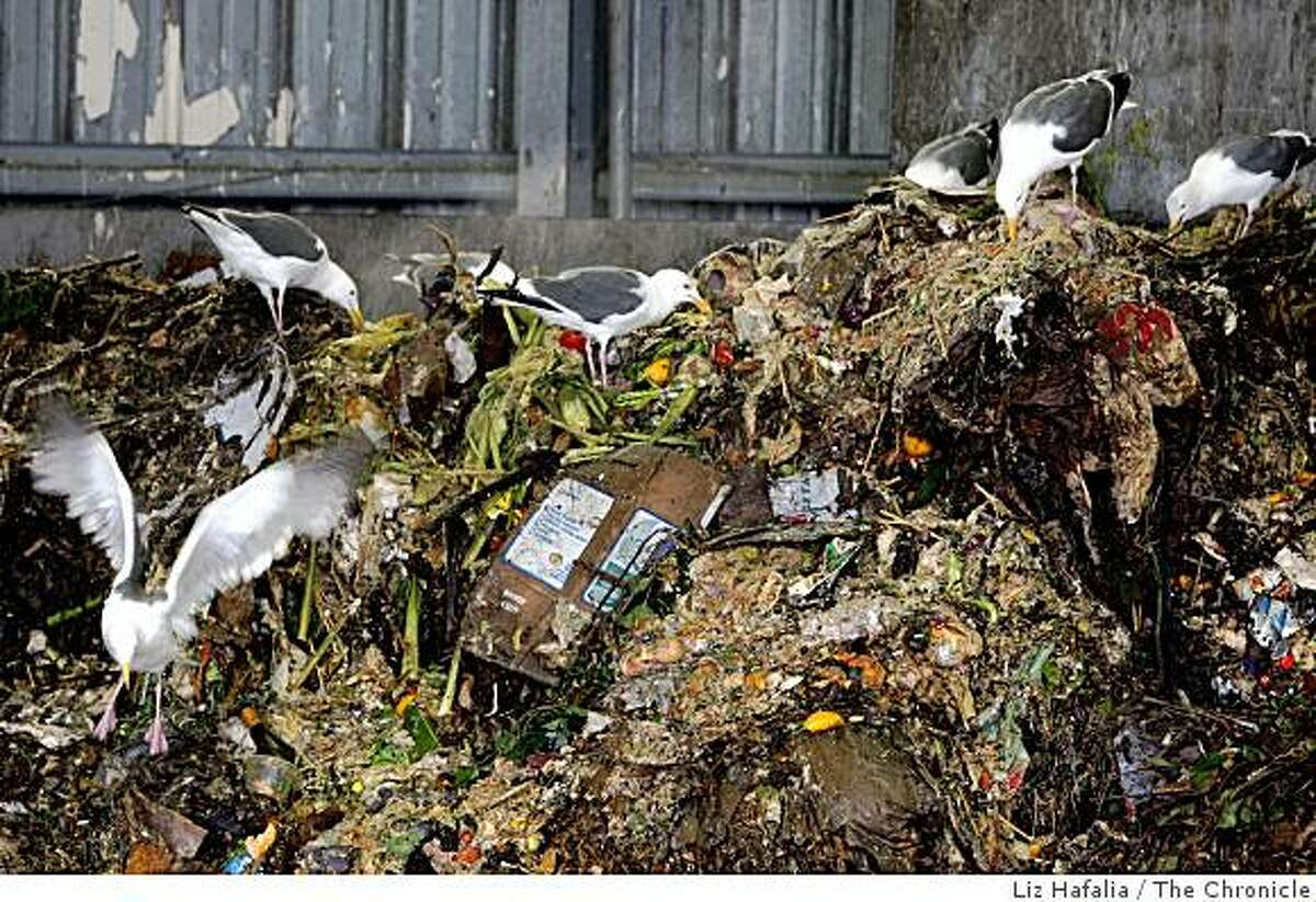 Seagulls scavenging the green compost dump at Sunset Scavenger in San Francisco, Calif., on Monday, July 28, 2008. A proposed ordinance from the director of the Department of the Environment would require all San Francisco residents and businesses to begin recycling food scraps and other compostable material. Photo by Liz Hafalia/The Chronicle