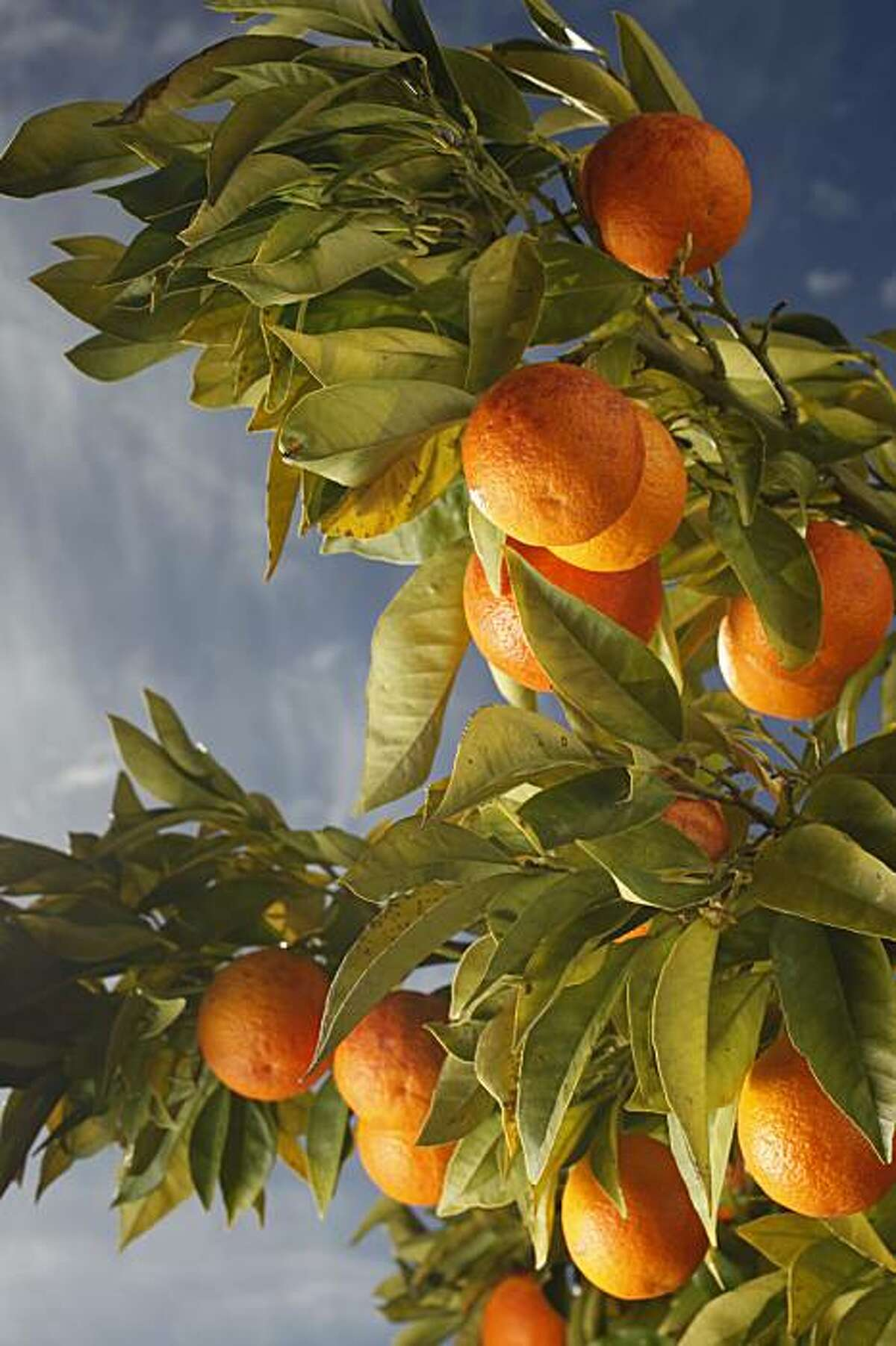 Blood Orange trees at the home of Georgeanne Brennan in Winters, Calif., on January 14, 2010.