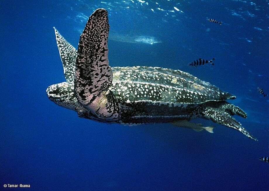 A leatherback turtle off the coast of Northern California. Photo: Tamar-Ibama