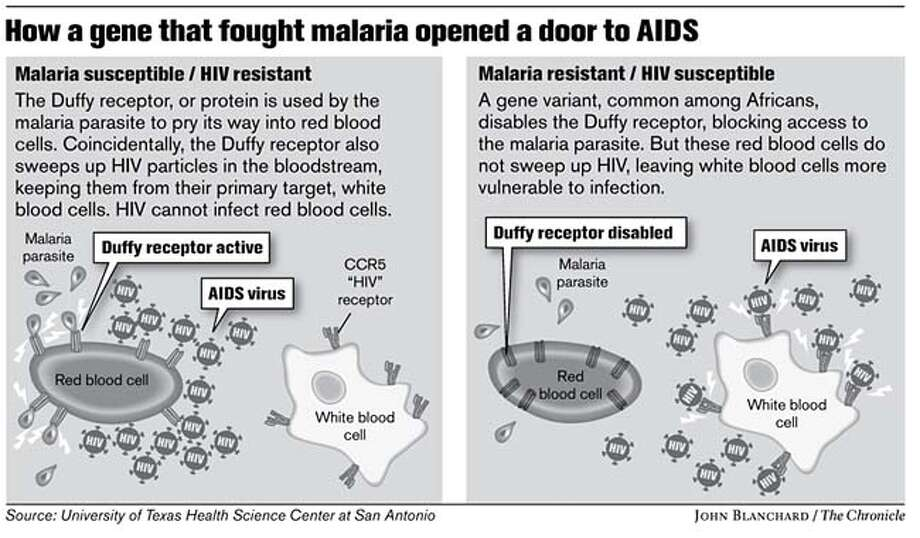 How a gene that fought malaria opened a door to AIDS. Chronicle graphic by John Blanchard