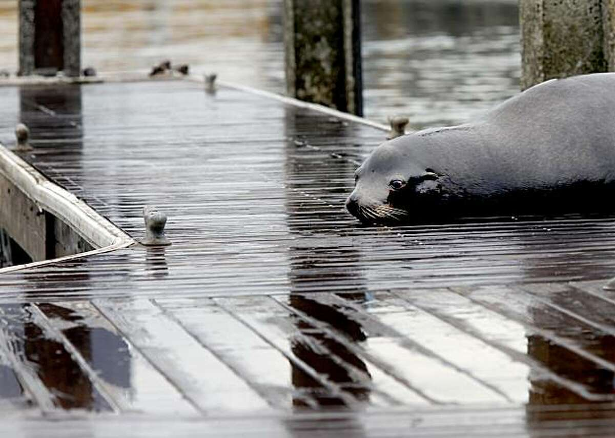 A lone sea lion rests on a nearby pier. The sea lions have disappeared from Pier 39 in San Francisco, where there once were hundreds.