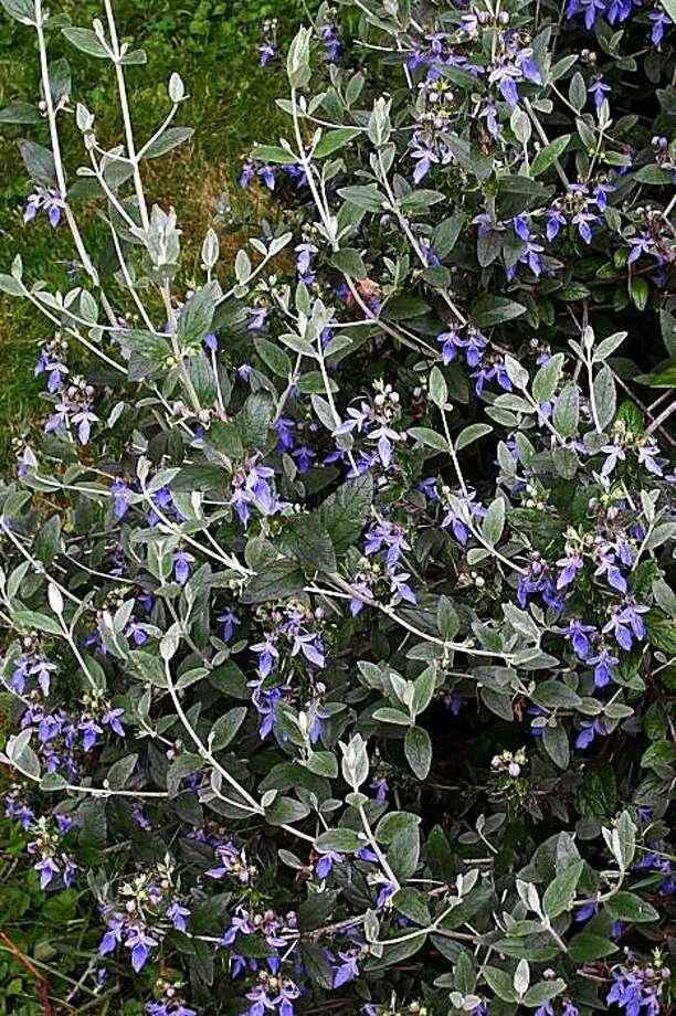 Teucrium fruiticans 'Azureum.' Photo: Steve Law