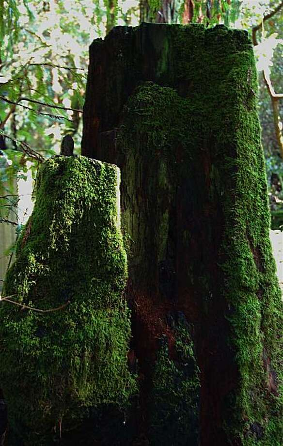 Moss grows on a redwood stump at Samuel P. Taylor State Park. Photo: Ron Sullivan