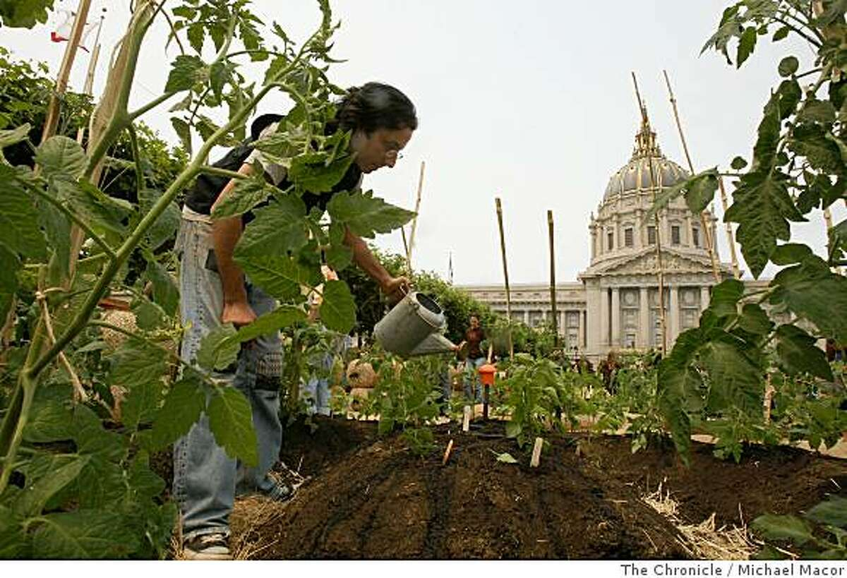 With Eric Cohen and the help of over 150 volunteers, San Francisco Civic Center, in San Francisco, Calif., became the largest edible garden in since 1943, on Saturday July 12, 2008. The display will provide visitors the opportunity to learn about urban food production. Cohen waters a row of tomato plants against the backdrop of City Hall.Photo By Michael Macor/ The Chronicle