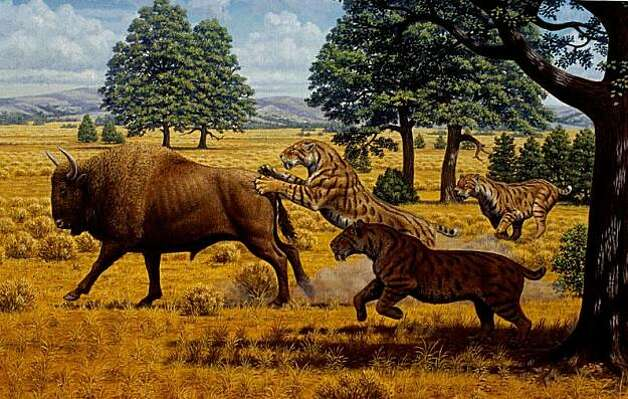 A reconstructed scene in the Pleistocene of western North America, showing a group of three sabertooth cats of the species Smilodon fatalis, pursuing an extinct bison. Artwork by Mauricio Antón. Photo: Artwork: Mauricio Anton, Courtesy Of UCLA