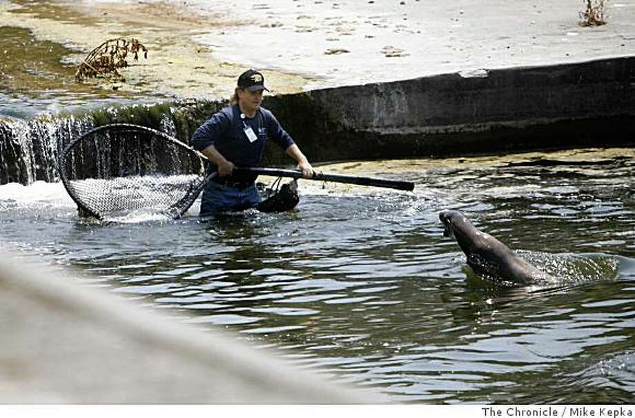 Lincoln Shaw, a volunteer with the Marine Mammal Center, tries to rescue a sea lion from an aqueduct that the Saratoga Creek runs through on Monday July 7, 2008 in Santa Clara, Calif. The sea lion, who had been trapped for days there most likely made its way to the Silicon Valley town from the San Francisco Bay. Photo by Mike Kepka / The Chronicle Photo: Mike Kepka, The Chronicle