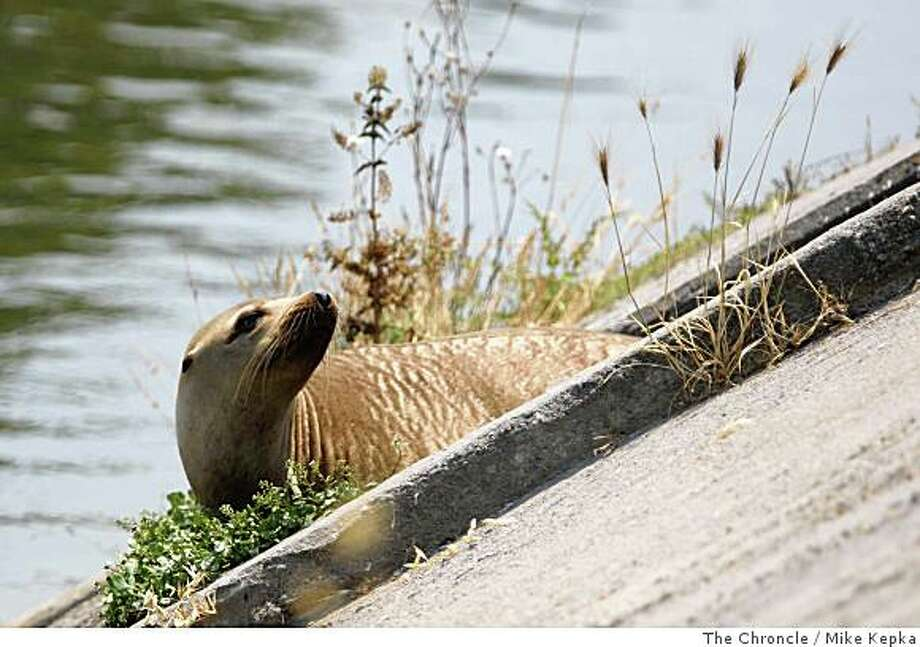 A sea lion suns itself on the banks of an aqueduct that the Saratoga Creek runs through on Monday July 7, 2008 in Santa Clara, Calif. The sea lion, who had been trapped for days there most likely made its way to the Silicon Valley town from the San Francisco Bay. It was later rescued by the The Marine Mammal Center. Photo by Mike Kepka / The Chronicle Photo: Mike Kepka, The Chroncle