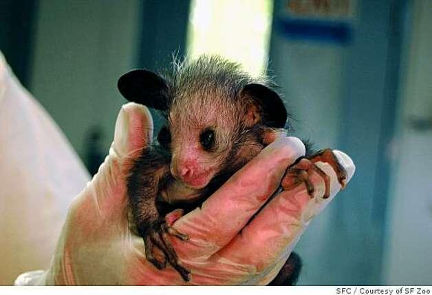 Baby aye aye lemur - photo#17
