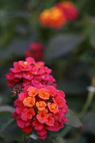 A Lantana camara 'Sunrise', grows in a garden landscaped by Jane Martin, architect, designer, and founding director of Plant SF, a non-profit organization that promotes landscaping on the sidewalks of San Francisco, at the corner of Harrison Street and 23rd Street Tuesday, December 2, 2009. Photo: Erin Lubin, Special To The Chronicle