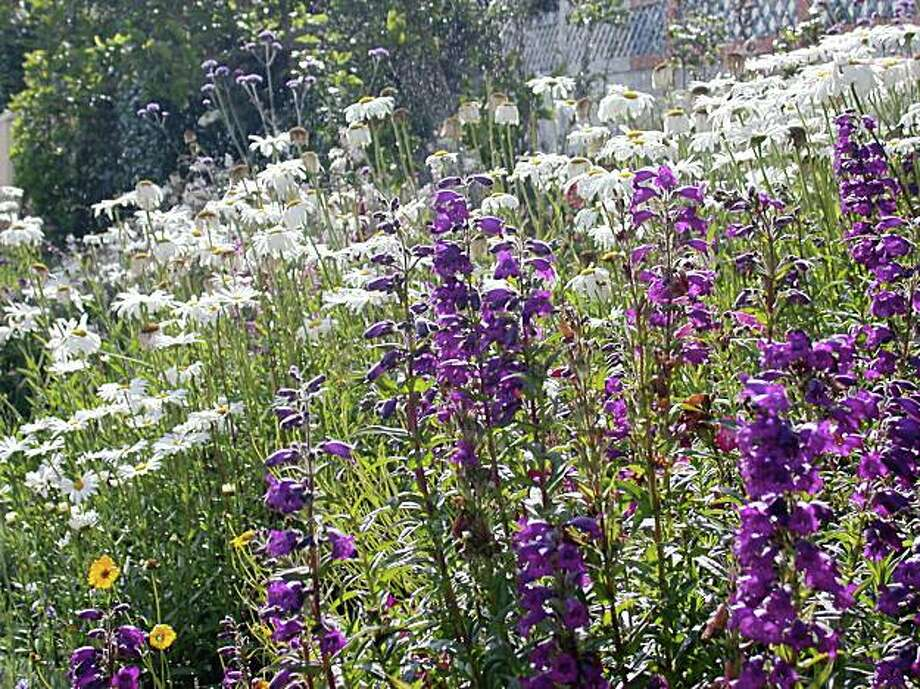 penstemon and shasta daisy (white) Photo: Amy Stewart, The Chronicle