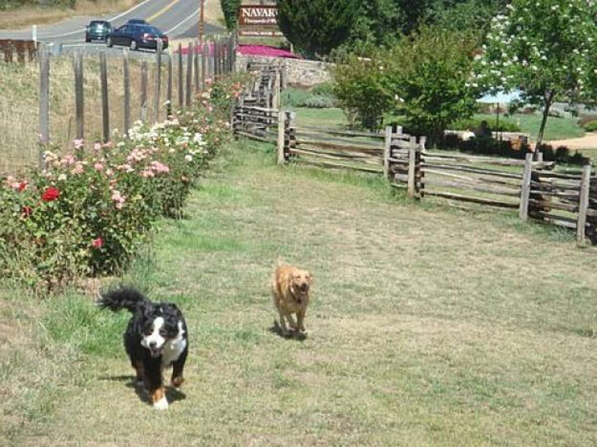 Kismet, a Bernese mountain dog, and Max, a golden retriever, romp in the dog run at Navarro Vineyards and Winery, one of many pet-friendly Mendocino County wineries.