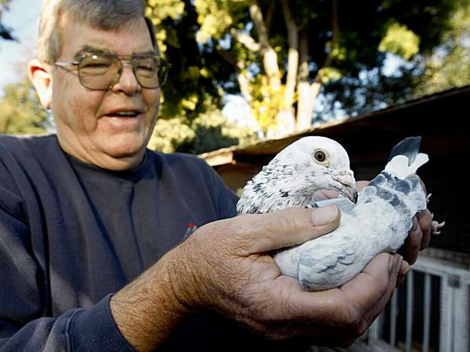 Dave Canning holds a racing pigeon, who escaped from Wichita over four years ago, at his home in Fremont, Calif., on Tuesday, Nov. 24, 2009. Nicknamed Cirrus, the white pigeon was rescued by a Point Richmond homeowner and was eventually traced to its owner in Kansas. Canning raises many racing pigeons himself. Photo: Paul Chinn, The Chronicle
