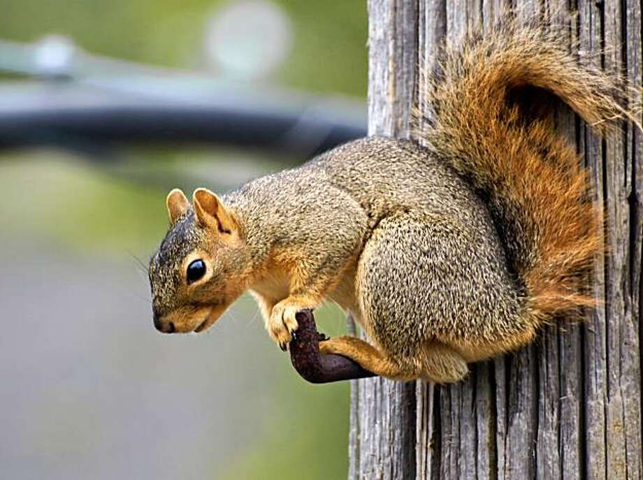 An Eastern fox squirrel. Photo: Ingrid Taylar