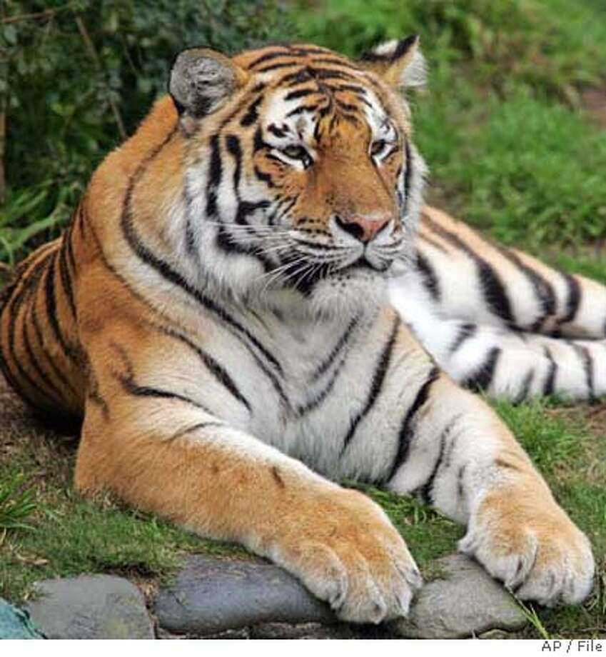 ** FILE ** This undated file photo provided by the San Francisco Zoo shows Tatiana, a female Siberian tiger. Tatiana, the tiger that mauled a zookeeper last year escaped from its pen at the San Francisco Zoo on Tuesday Dec. 25, 2007, killing one man and injuring two others before police shot it dead, authorities said. (AP Photo/San Francisco Zoo, File) Photo: Associated Press