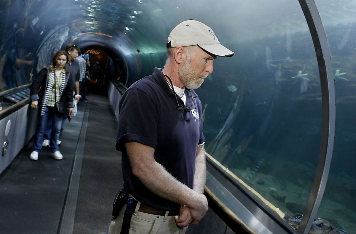 Marine Biologist Mike McGill watches an octopus slide in beside some rocks in the aquarium display. Three giant Pacific octopus, the largest in the world, are now making their home at Aquarium of the Bay at Pier 39 in San Francisco, Calif. after a local fisherman caught them in a crab pot.