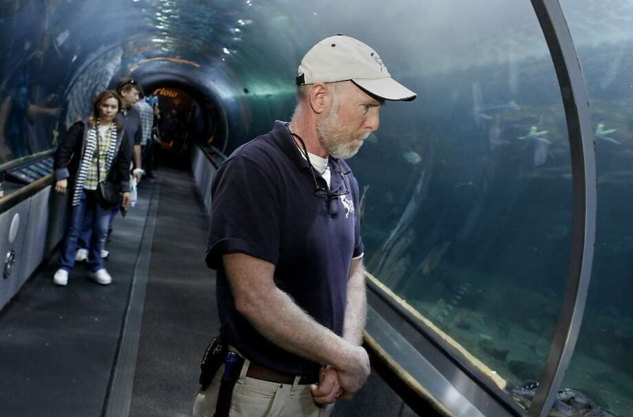 Marine Biologist Mike McGill watches an octopus slide in beside some rocks in the aquarium display. Three giant Pacific octopus, the largest in the world, are now making their home at Aquarium of the Bay at Pier 39 in San Francisco, Calif. after a local fisherman caught them in a crab pot. Photo: Brant Ward, The Chronicle