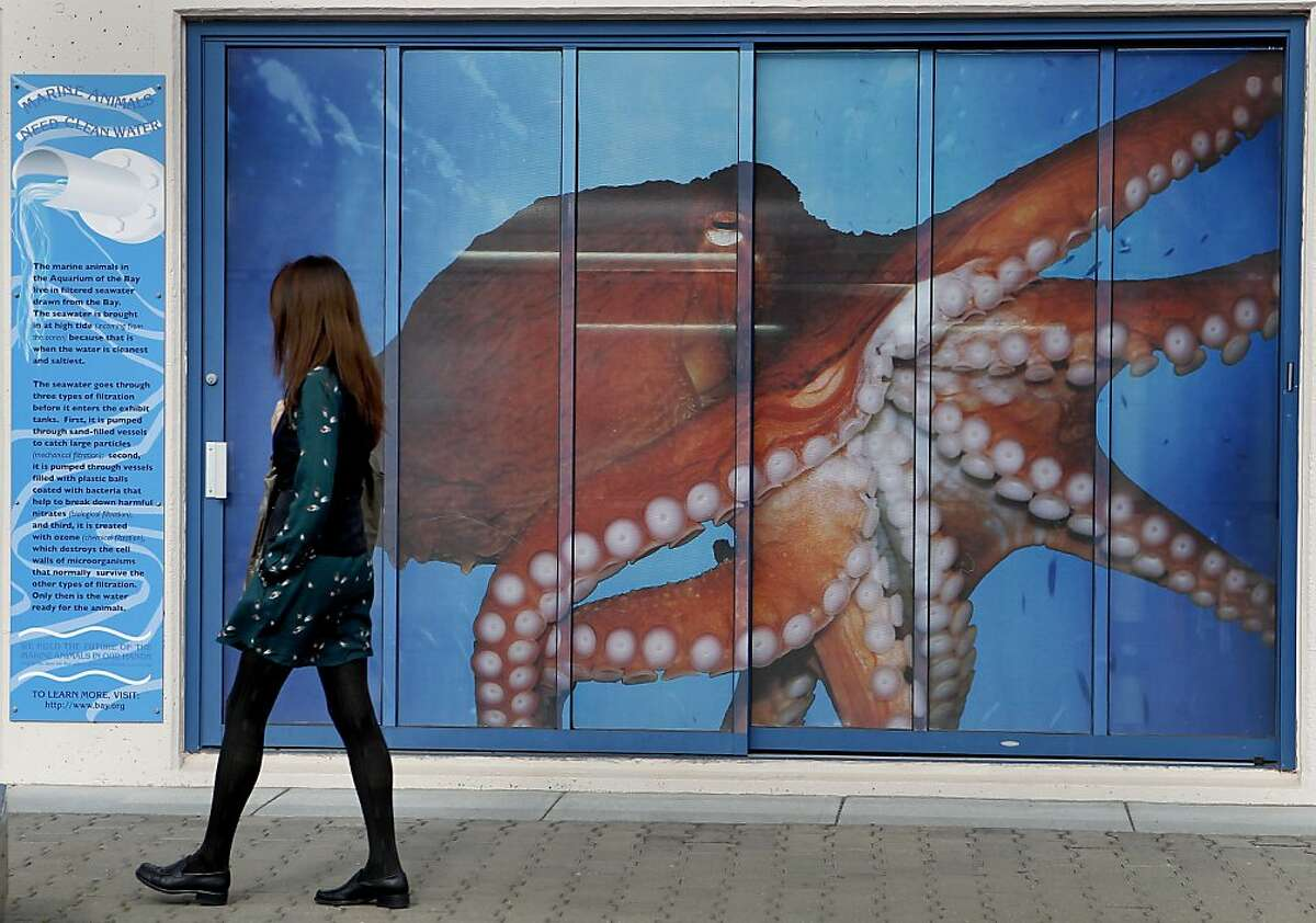 A woman walks by a mural of a large octopus on the front of the Aquarium of the Bay building, although this does not appear to be the giant Pacific octopus. Three giant Pacific octopus, the largest in the world, are now making their home at Aquarium of the Bay at Pier 39 in San Francisco, Calif. after a local fisherman caught them in a crab pot.