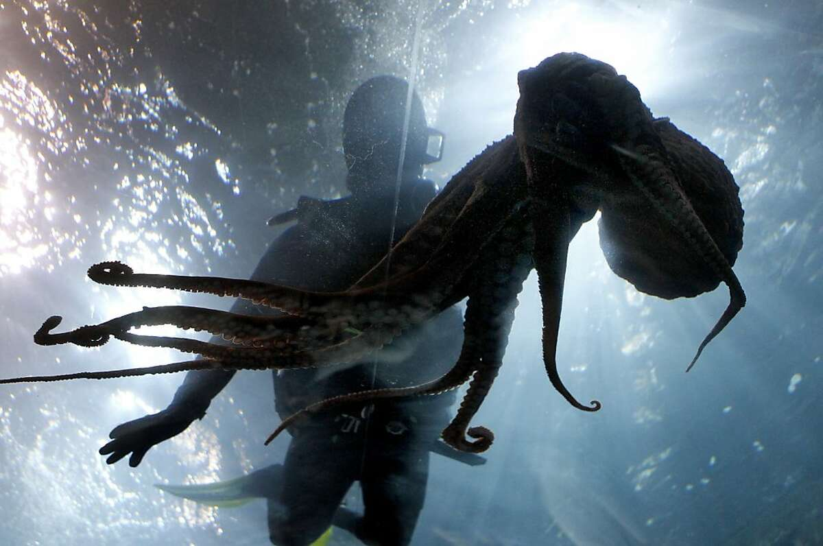 A diver watches one of the female giant Pacific octopus swim over the top of the bay exhibit. Three giant Pacific octopus, the largest in the world, are now making their home at Aquarium of the Bay at Pier 39 in San Francisco, Calif. after a local fisherman caught them in a crab pot.