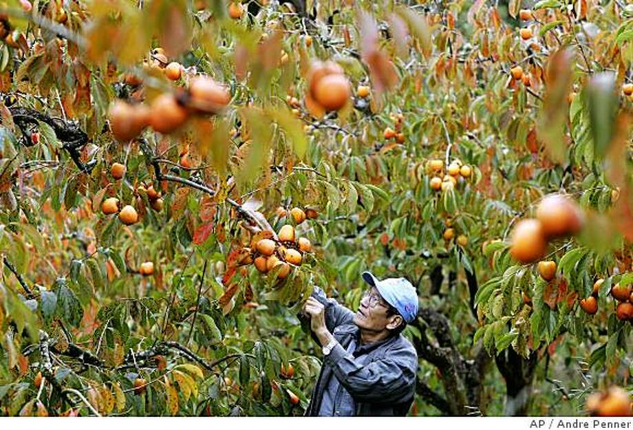 **APN ADVANCE FOR SUNDAY JUNE 15** Japanese descendant Yoshikuni Nomura picks persimmons in Mogi das Cruzes, Brazil, Tuesday, May 13, 2008. One century ago 781 Japanese peasants arrived in the port of Santos aboard the steamship Kasato Maru on June 18, 1908. They were the first of successive waves of immigrants that created a Japanese community that today stands at 1.5 million, the world's largest outside of Japan.(AP Photo/Andre Penner) Photo: Andre Penner, AP