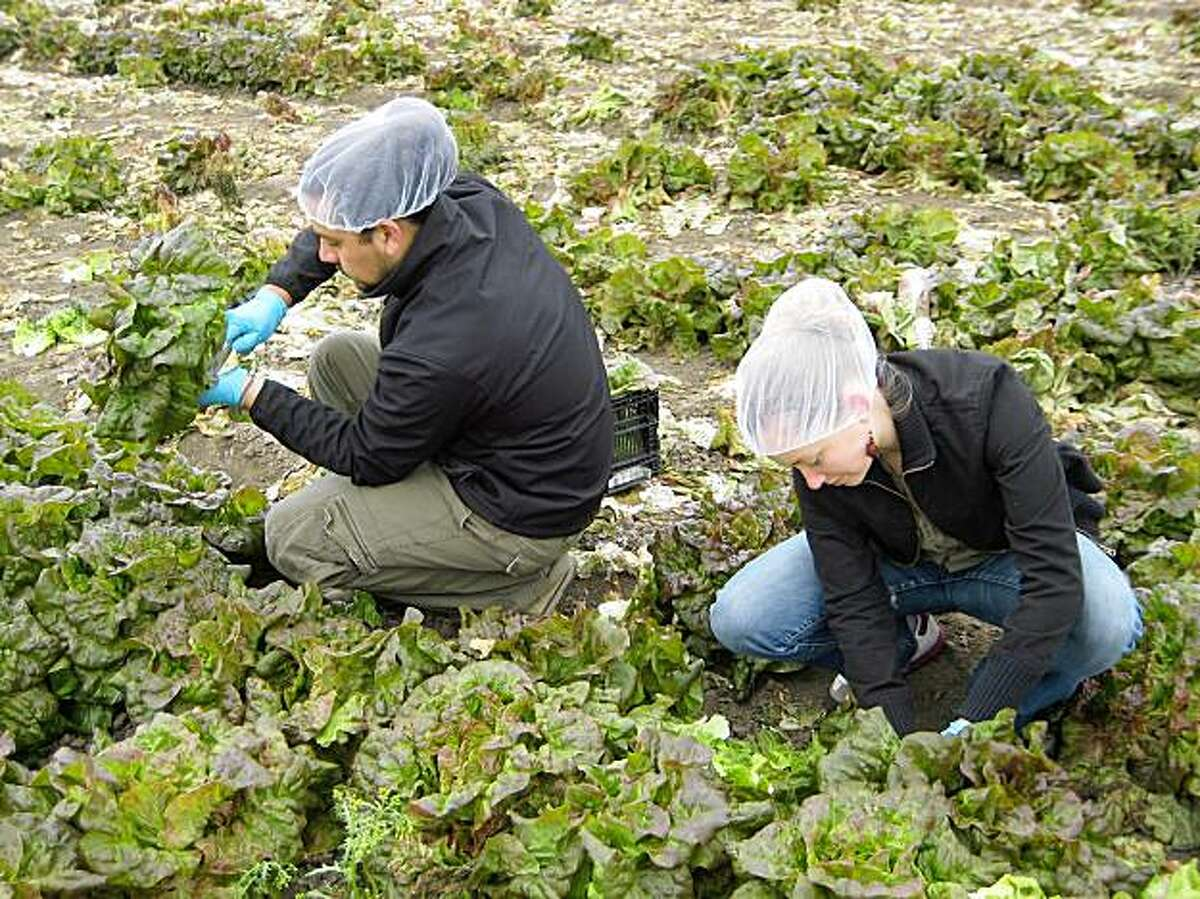 Christina Jogoleff and Mauricio Macias gleaning red lettuce in a field near Salinas. 20 June 2009. Christina and Mauricio started as gleaners whose stories were recorded by the Gleaning Stories Project. They became project members recording stories themselves.