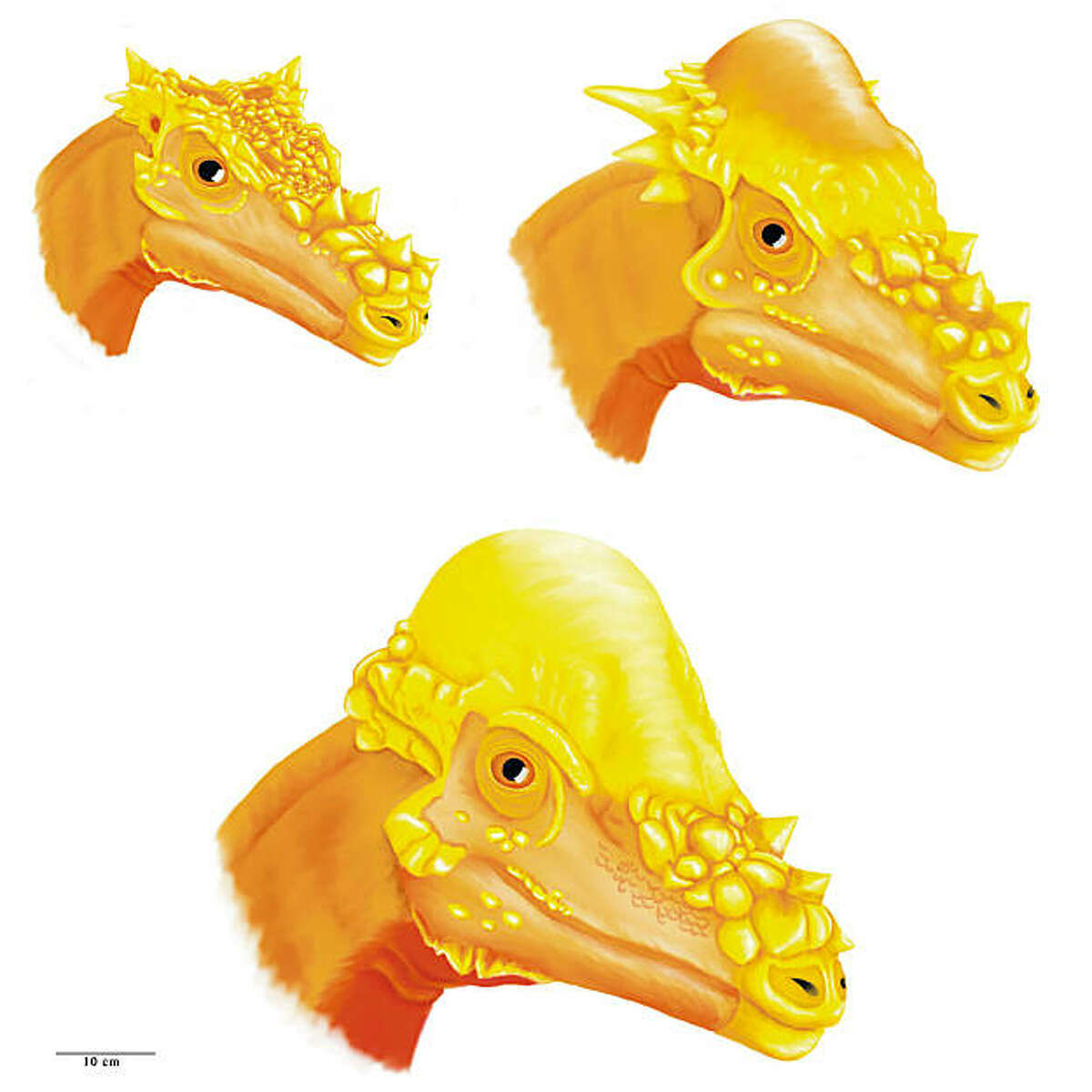 This artist's rendering shows what scientists believe to be three species of pachycephalosaur, a bony-headed dinosaur that lived 65-million years ago. A new study by UC Berkeley paleontologist Mark Goodwin and his partner Jack Horner of the Museum of the Rockies says that the three species might actually be just one that changed drastically during adolescence. The illustration shows Dracorex hogwartsia (top left), Stygimolach spinifer (top right) and Pachycephalosaurus.
