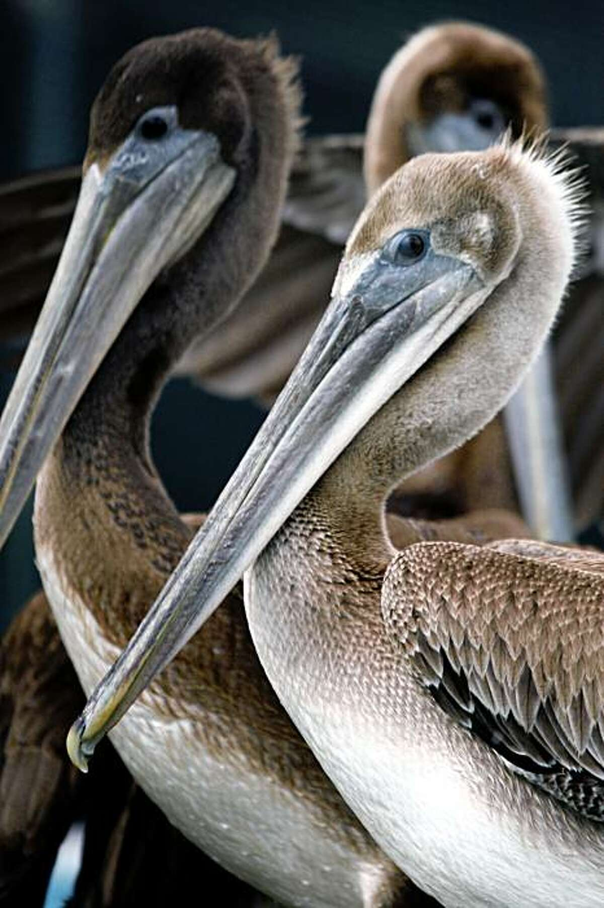 California brown pelicans are being treated at the International Bird Rescue Research Center in Cordelia, many have been operated on after ingesting fishing line with hooks attached or wrapped in the lines off Santa Cruz and Northern Calif waters before being rescued. This Saturday is the annual Coastal cleanup day, promoters of the one day event are hoping to remove some of the worst types of marine debris in the environment, all types plastic, fishing debris, and garbage. Photographed in Cordelia Tuesday Sept 16, 2008.