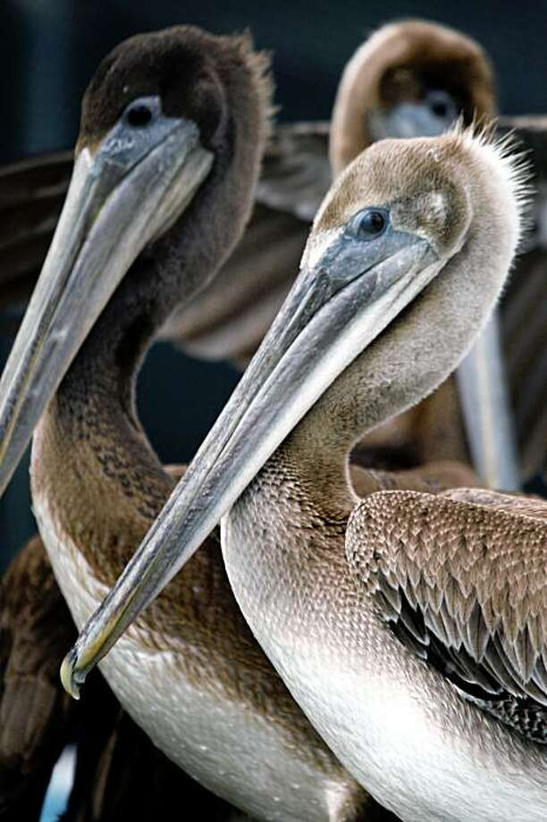 California brown pelicans are being treated at the International Bird Rescue Research Center in Cordelia, many have been operated on after ingesting fishing line with hooks attached or wrapped in the lines off Santa Cruz and Northern Calif waters before being rescued. This Saturday is the annual Coastal cleanup day, promoters of the one day event are hoping to remove some of the worst types of marine debris in the environment, all types plastic, fishing debris, and garbage. Photographed in Cordelia Tuesday Sept 16, 2008. Photo: Lance Iversen, The Chronicle