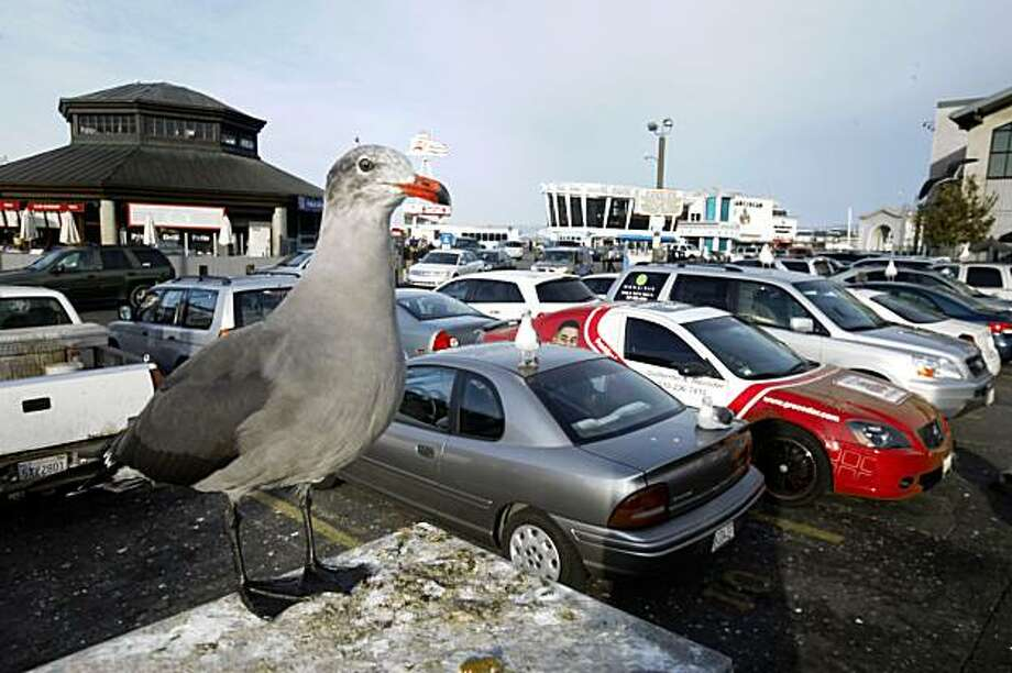 A seagull guards cars parked in the popular Fisherman's Wharf lot. A new audit shows that the restaurants that operate the lot may have been shorting the Port of San Francisco millions of dollars a year. Photo: Mike Kepka, The Chronicle
