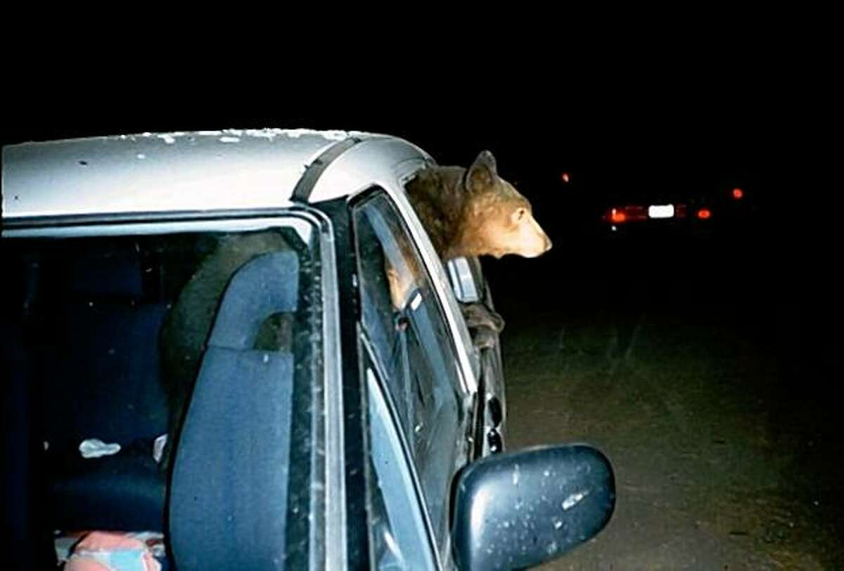 Bear in Mini-Van at Yosemite National Park.